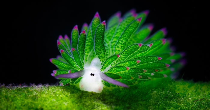 leaf-sheep-sea-slug-costasiella-kuroshimae-fb__700.jpg